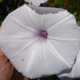 Ipomea cairica 'Alba' - Ipomée blanche