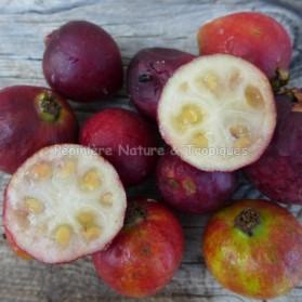 Psidium catleyanum - Goyavier fraise