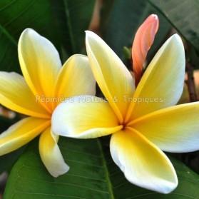 Plumeria rubra 'Aztec Gold' - Frangipanier Jaune et Blanc