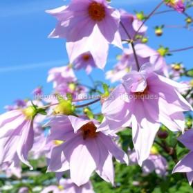 Dahlia imperialis - Dahlia mauve