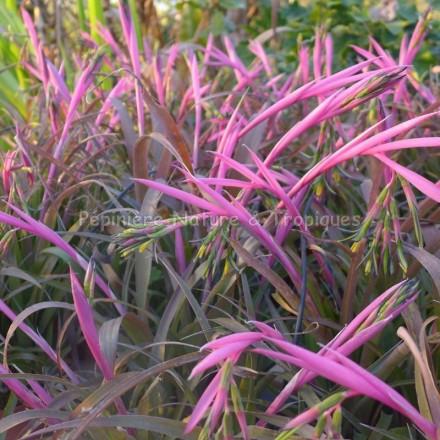 Billbergia nutans bromeliaceae tropicale for Yucca exterieur rustique