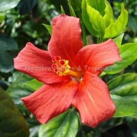 Hibiscus boryanus - Hibiscus de la Réunion ( Foulsapate marron)