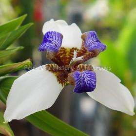 Neomarica gracilis ( syn. Neomarica candida)