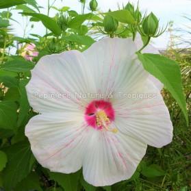 Hibiscus x moscheutos 'Peppermint Flare' - Hibiscus rustique blanc et rose