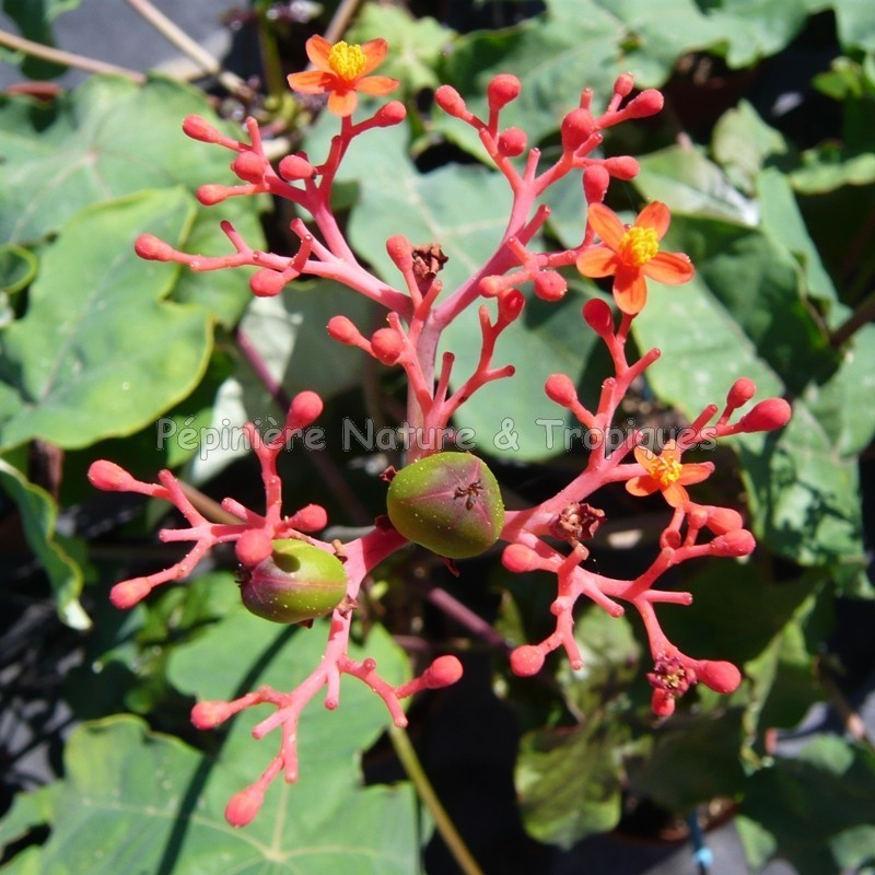 jatropha podagrica plante corail p pini re nature tropiques plantes tropicales exotiques. Black Bedroom Furniture Sets. Home Design Ideas