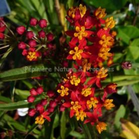 Asclépias currassavica 'Dark Red'