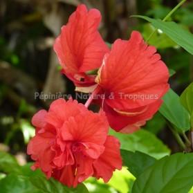 Hibiscus rosa sinensis 'Pagoda Rouge'