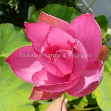 Nelumbo nucifera - Lotus 'Hong Sia' - Lotus Rouge