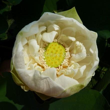 Nelumbo nucifera - Lotus 'Shiroman' - Lotus Double Jaune et Blanc