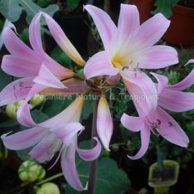 Amarylis belladonna
