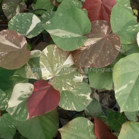 Hibiscus tiliaceus variegata - Hibiscus tropical  feuillage panaché