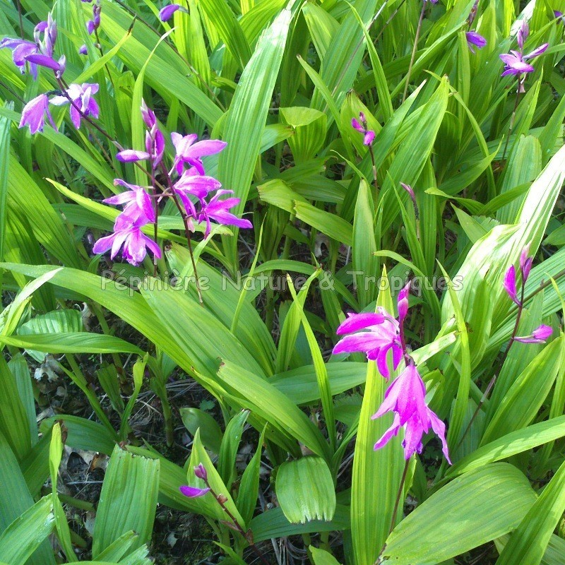 Bletilla striata orchid e rustique p pini re nature et for Plantes a commander