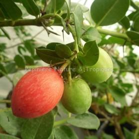 Carissa macrocarpa - Prunier du Natal
