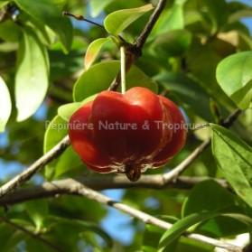 Eugenia uniflora - Cerisier de Cayenne
