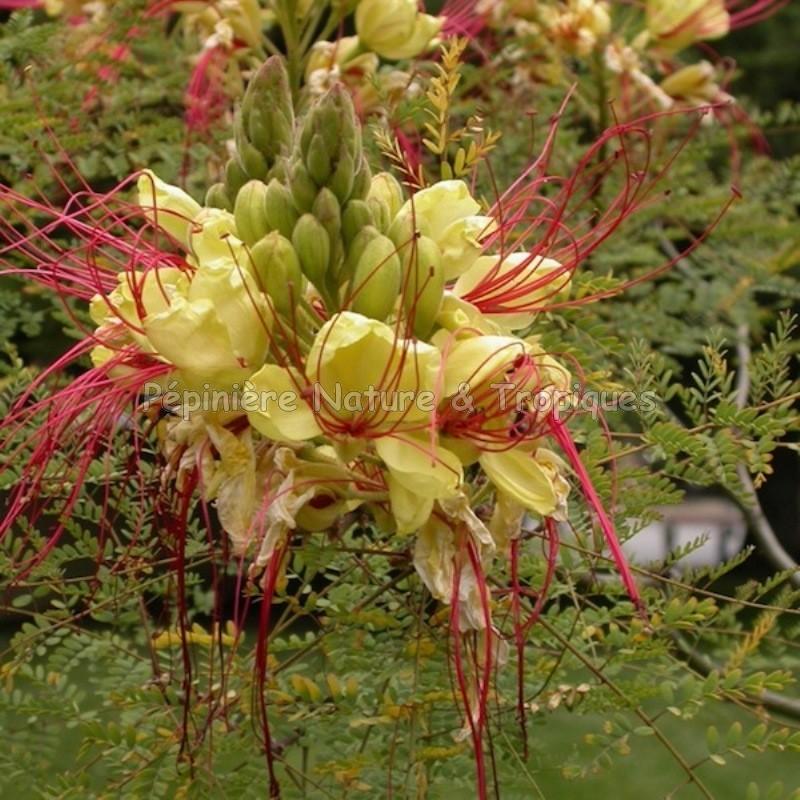 Caesalpinia gilliesii flamboyant nain d 39 argentine for Commander des plantes
