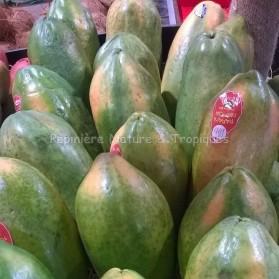 Papaya carica - Papayer