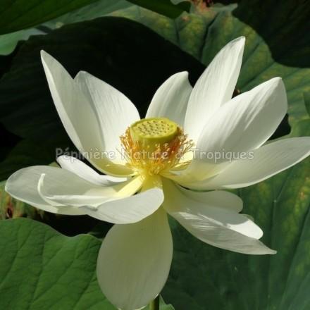 Nelumbo nucifera 'Alba Grandiflora' - Lotus Blanc