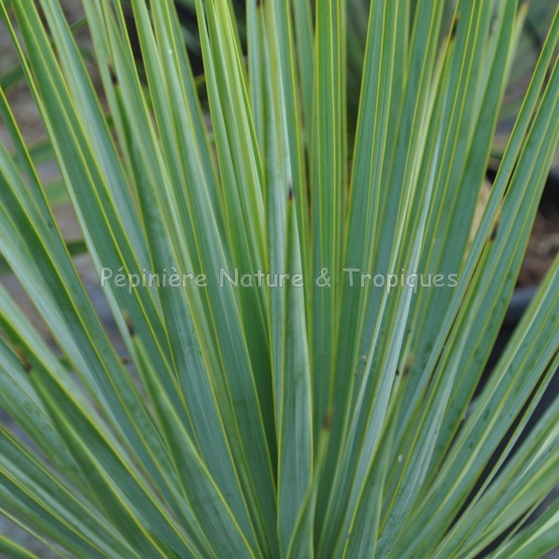 plante herbacee tropicale yucca