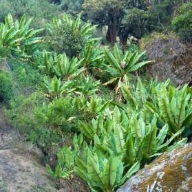 Encete ventricosum - Bananier d'Abyssinie