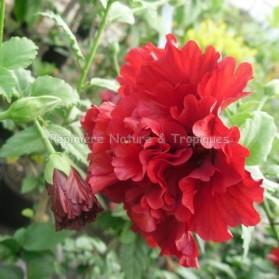 Hibiscus diantoïdes-Hibiscus à fleurs d'oeillet