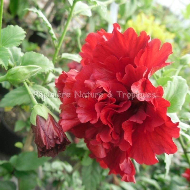 hibiscus dianto des hibiscus fleurs d 39 oeillet. Black Bedroom Furniture Sets. Home Design Ideas