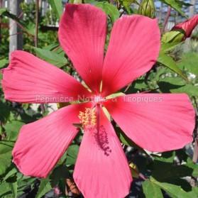 Hibiscus x coccineus 'Red Flyer'