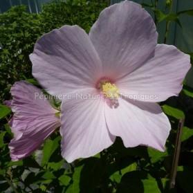 Hibiscus palustris 'Rosea'