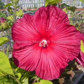 Hibiscus x moscheutos 'Princess Laura' - Hibiscus rouge intense