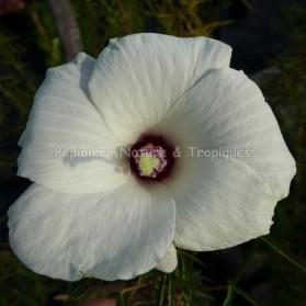 Hibiscus dasycalyx - Hibiscus rustique blanc