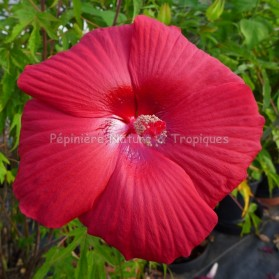 Hibiscus x moscheutos 'Red Dreams'