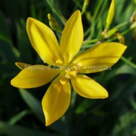 Belamchanda chinensis jaune