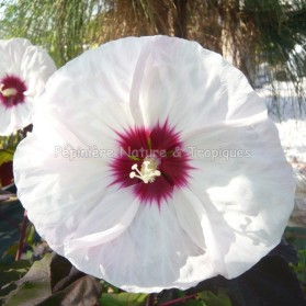 Hibiscus x moscheutos 'White Buddy Jewel' - Hibiscus blanc rustique
