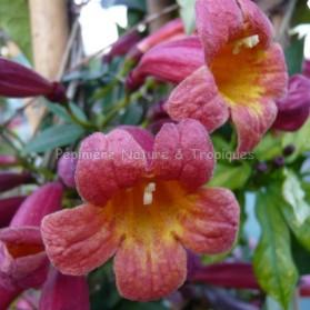 Bignonia capreolata 'Atrosanguinea' - Bignone Cacao Rouge foncé