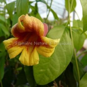 Bignonia capreolata - Bignone Cacao