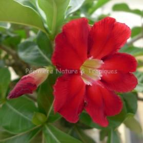 Adenium obesum - Rose du Désert
