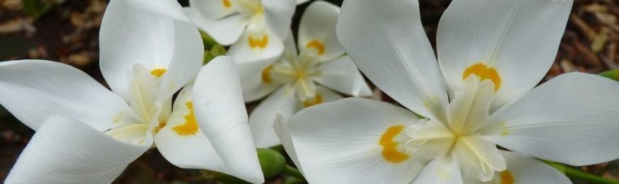 Notre collection tropicale d'Iridaceae - La famille des Iris