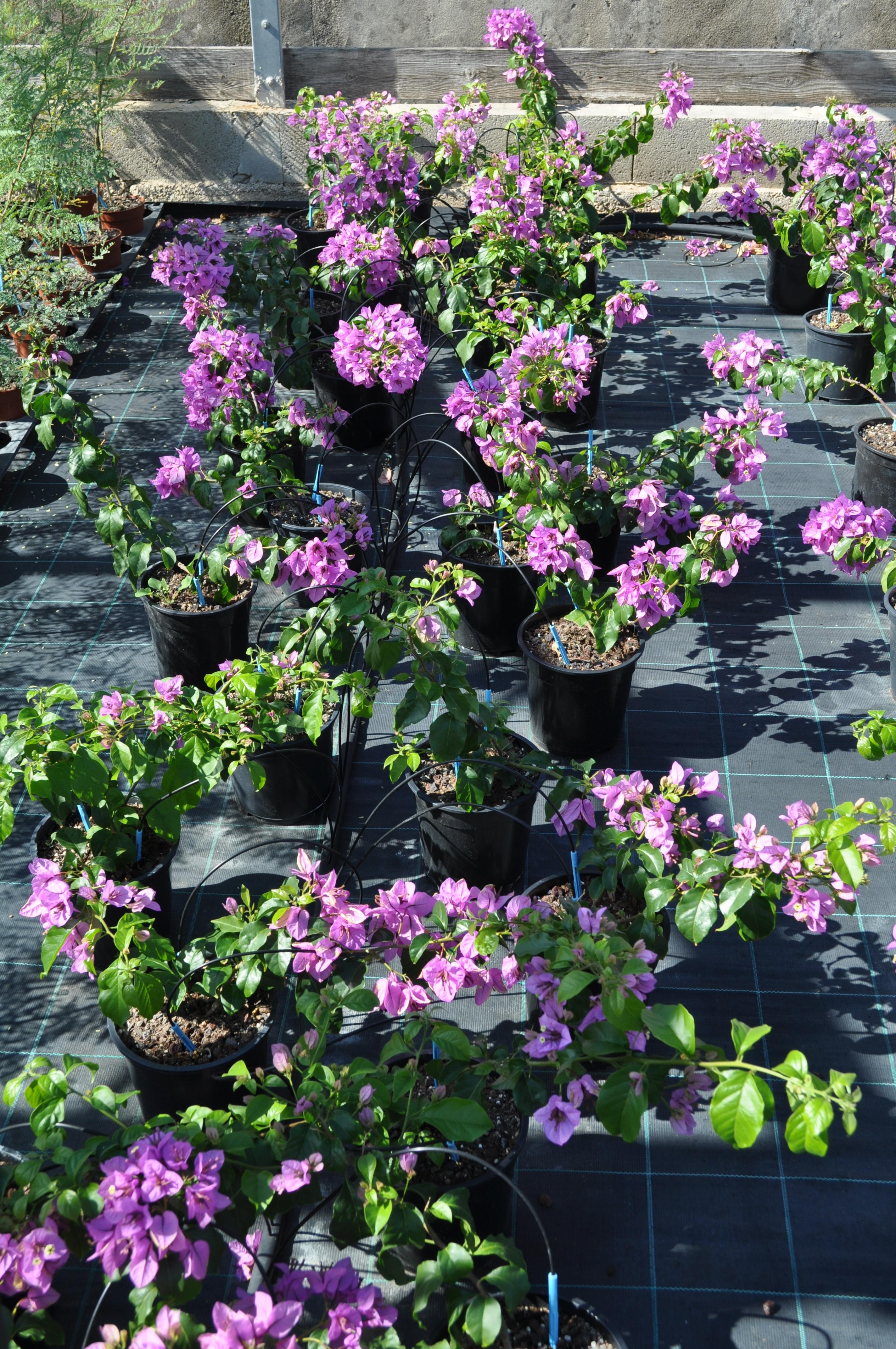 P pini re nature tropiques plantes tropicales exotiques for Entretien d un bougainvillier