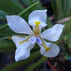 Dietes iridioides - Ididacée tropicale sud africaine