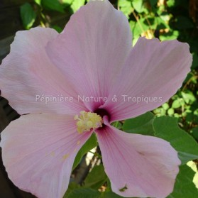 Hibiscus grandiflorus - Hibiscus des Marais rose clair