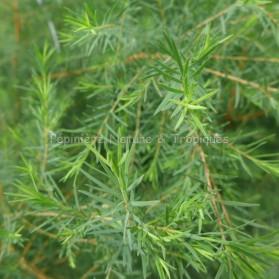 Melaleuca alternifolia - Arbre à thé