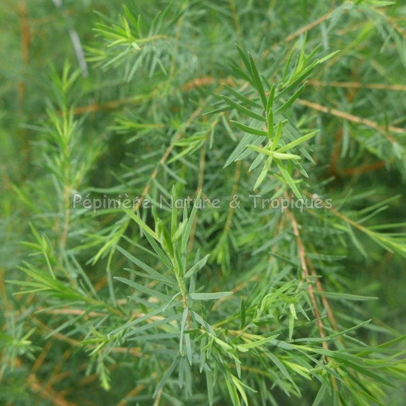Melaleuca alternifolia arbre th for Commander des plantes