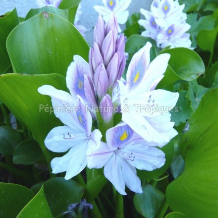 Eichhorneria crassipes - Jacynthe d'eau