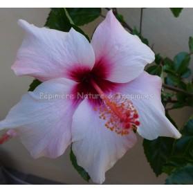 Hibiscus rosa sinensis 'Albo Laciniatus' - Hibiscus tropical Rose
