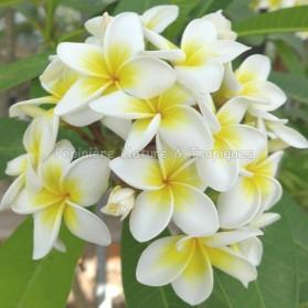 Plumeria rubra 'Celadine' - Frangipanier blanc à coeur jaune