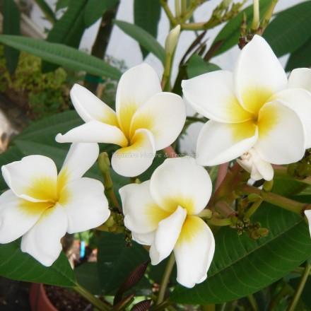 Plumeria rubra 'Haleiwa White' - Frangipanier Blanc à coeur jaune