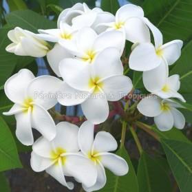 Plumeria rubra 'Samoan Fluff' - Frangipanier Blanc