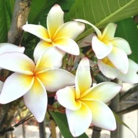 Plumeria rubra 'Sunrise' - Frangipanier Blanc