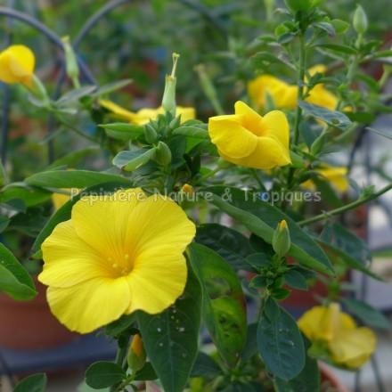 Reinwardtia Indica (syn.trigyna)