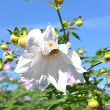 Dahlia imperialis 'Alba' -Dahlia blanc