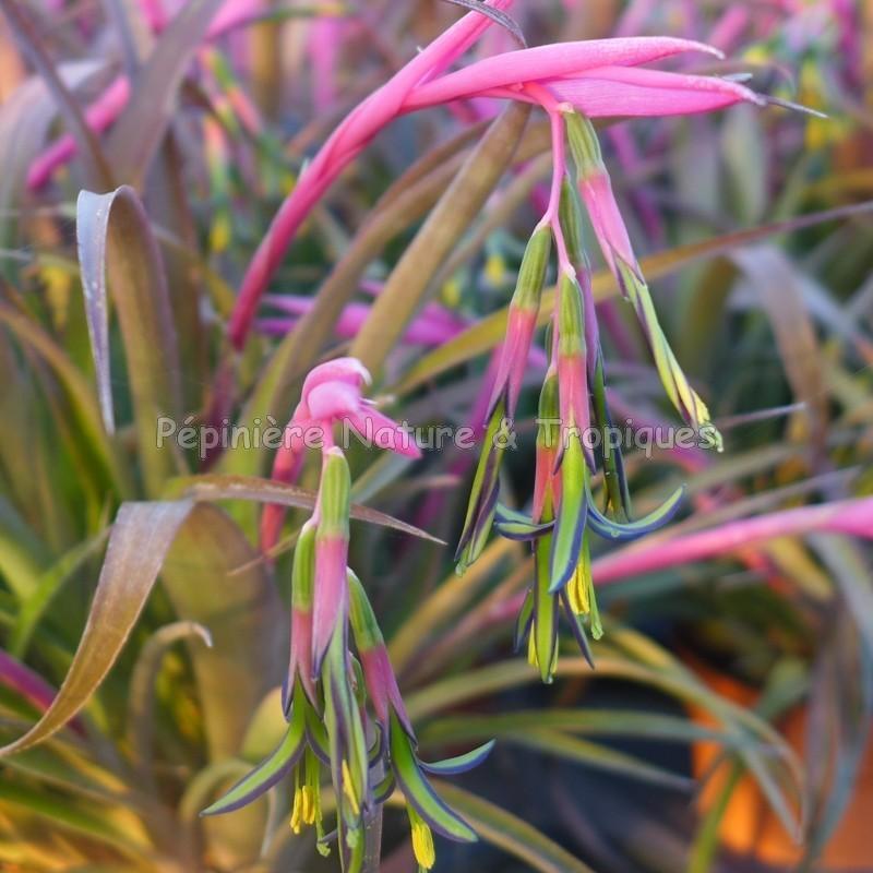 Billbergia nutans bromeliaceae tropicale for Commander des plantes